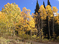 2014-09-25 13 57 44 Aspens showing autumn leaf coloration along Charleston-Jarbidge Road (Elko County Route 748) about 13.0 miles north of Charleston in Elko County, Nevada.jpg