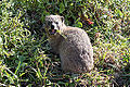 2014-11-30 08h47 Procavia capensis.JPG