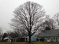2014-12-24 15 21 35 Sugar Maple along Boone Avenue in Ewing, New Jersey.JPG