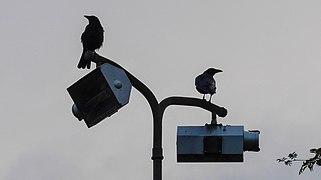 20140811 Zwarte kraaien (Corvus corone) Groningen NL.jpg