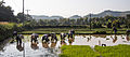 2014 Rice planting Mae Chan district 3.jpg