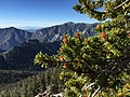 2015-07-13 07 46 24 Great Basin Bristlecone Pine leaves and pollen cones along the North Loop Trail about 5.6 miles west of the trailhead in the Mount Charleston Wilderness, Nevada.jpg