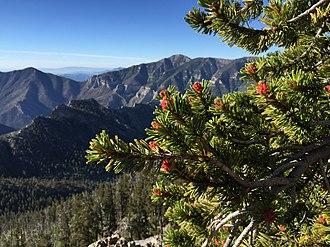 Pinus longaeva - Foliage and pollen cones, Spring Mountains, Nevada