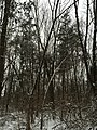 2016-02-15 08 30 42 Snow-covered woodland along Lees Corner Road (Virginia State Secondary Route 645) in the Armfield Farm section of Chantilly, Fairfax County, Virginia.jpg