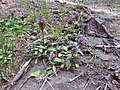 2017-07-15 (152) Prunella vulgaris (common selfheal) in Matrei in Osttirol.jpg