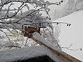 2018-01-21 (110) Parus major (great tit) on a bird table im Haltgraben, Frankenfels.jpg