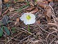 2018-01-28 (112) Helleborus niger (christmas rose) at Haltgraben at border area between Frankenfels at Kirchberg an der Pielach.jpg