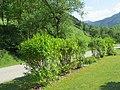 2018-05-13 (250) Plants at Bichlhäusl in Frankenfels, Austria.jpg
