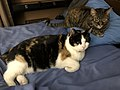 2020-03-20 23 54 49 A Calico cat and tabby cat lying on a bed in the Franklin Farm section of Oak Hill, Fairfax County, Virginia.jpg