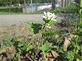 20200424Alliaria petiolata2.jpg