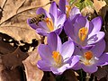 2021-03-03 14 57 09 A honey bee pollinating Crocus tommasinianus flowers along Tranquility Court in the Franklin Farm section of Oak Hill, Fairfax County, Virginia.jpg