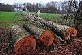 36 giant beechttrees were cutted down start 2015 at Schelmseroad Schaarsbergen -Oosterbeek - panoramio.jpg