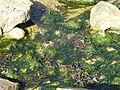 4660.Das Felsenmeer rings um das Pointe du Château - Côte de Granit Rose - commune Plougrescant ,Departement Côtes-d'Armor , Region Bretagne - Spaziergang - Steffen Heilfort.JPG
