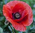 A Flanders Field Poppy-1 (44031069095).jpg