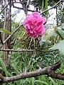 A Lone Rose.jpg