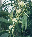 A and B Larsen orchids - Brassia girouldiana Edvah Loo 855-9z.jpg