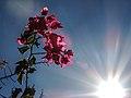 A flor e o sol.jpg