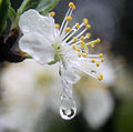 A flower refracted in rain droplets.jpg