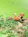 A pair of the ruddy shelduck (Tadorna ferruginea) at Assam State Zoo cum Botanical Garden, Guwahati.jpg