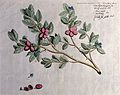 A plant (Atalantia spinosa); branch with flowers and fruit, Wellcome V0042603.jpg