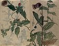 A thistle flower and fruiting plant. Watercolour. Wellcome V0043651.jpg