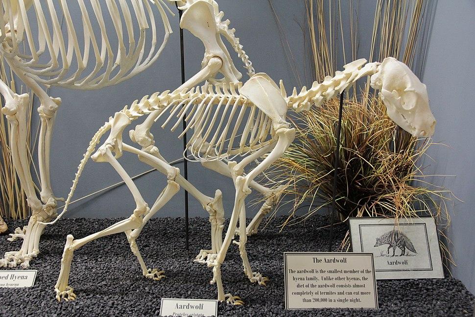 Aardwolf Skeleton