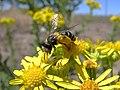 Abeja - Andrenidae - Escopa (14710681566).jpg