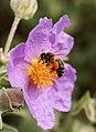 Abeja sobre una flor de estepa blanca - Honeybee (4556132946).jpg