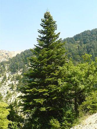Abies cilicica - Image: Abies cilicica in Ehden cedar reserve