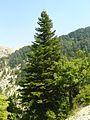 Abies cilicica in Ehden cedar reserve.jpg