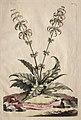 Abraham Munting - Phytographia Curiosa- Horminum Indicum Majus - 1994.145 - Cleveland Museum of Art.jpg