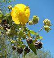 Abutilon grandifolium (18283335162).jpg