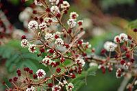 Acacia concinna