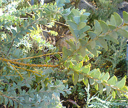 Acacia cultriformis leaves.jpg