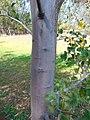 Acacia denticulosa 3.jpg
