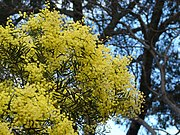 Acacia prominens 3