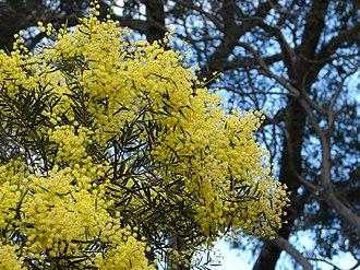 Acacia prominens - Image: Acacia prominens 3
