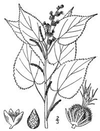 Acalypha ostryifolia drawing