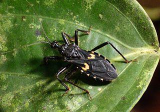 <i>Acanthaspis</i> genus of insects
