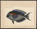 Acanthurus olivaceus - 1700-1880 - Print - Iconographia Zoologica - Special Collections University of Amsterdam - UBA01 IZ13700047.tif