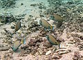 Acanthurus tennentii, groupe broutant.jpg