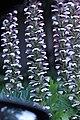 Acanthus mollis IMG 0094.jpg