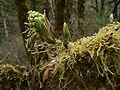 Acer macrophyllum 01225.JPG