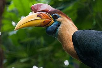 Knobbed hornbill - Image: Aceros cassidix Weltvogelpark Walsrode, Germany 8a