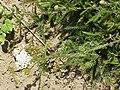 Achillea asplenifolia1.jpg