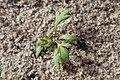 Achillea millefolium kz01.jpg