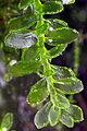 Achrophyllum dentatum.jpg