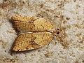 Acleris rhombana - Rhomboid tortrix - Плоская листовёртка сетчатая (44864844971).jpg