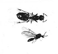 Acrobat ant (Crematogaster - Myrmecidinae)