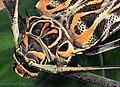 Acrocinus longimanus - Besouro-da-figueira - Arlequim 02.jpg